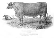 短的有角的公牛的一个被刻记的例证从葡萄酒嘘的 库存照片