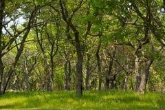 短的树森林 库存照片