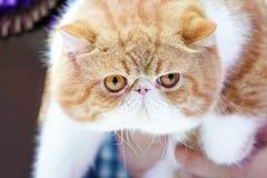 短的波斯猫面孔短的鼻子和棕色橙色头发的关闭有对此的老虎样式的 库存照片