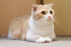 短的腿小的逗人喜爱的猫 皇族释放例证