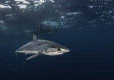 短的飞翅鲨鱼 库存照片