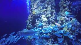 短的鲭鱼 股票录像