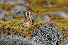 短耳朵的猫头鹰,澳大利亚安全情报组织flammeus sanfordi,从海狮岛, Fakland海岛,从自然的野生生物场面的罕见的地方性鸟 猫头鹰 免版税库存照片