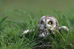 短耳朵的猫头鹰 库存照片