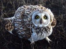 短耳朵的猫头鹰 免版税库存照片