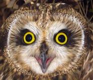 短耳朵的猫头鹰 图库摄影
