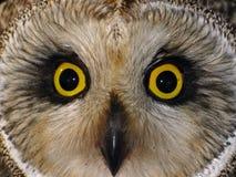短耳朵的猫头鹰 免版税库存图片