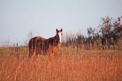 短距离冲刺的马在牧场地 免版税图库摄影