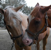 短距离冲刺的马 免版税库存图片