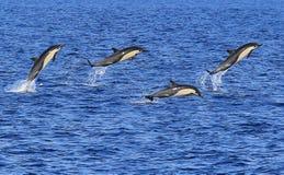 短钩形海豚跳跃 免版税库存照片