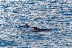 短鳍的圆头鲸和小小牛在离特内里费岛的附近,西班牙海岸  免版税库存图片