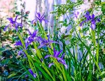 矮人或低虹膜虹膜pumila的野花是种类的四季不断草本 库存图片