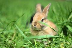 矮小兔子 免版税库存照片