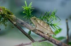 矮小叶子变色蜥蜴 库存图片