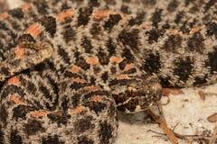 矮小响尾蛇 库存照片