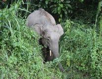 矮小大象在婆罗洲 图库摄影