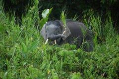 矮小大象婆罗洲 库存图片