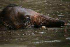 矮小大象婆罗洲 免版税图库摄影
