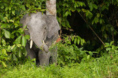 矮小大象 免版税库存照片