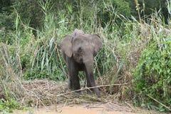 年轻矮小大象 免版税库存图片