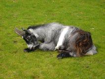 矮小山羊-山羊属aegagrus 库存照片