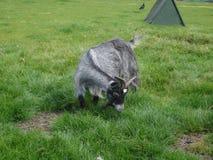 矮小山羊-山羊属aegagrus 免版税库存图片
