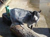 矮小山羊-山羊属aegagrus 库存图片