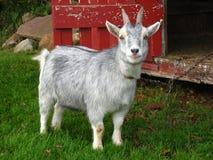 矮小山羊 免版税库存照片