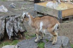 矮小山羊 库存图片