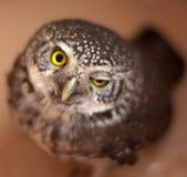 矮小猫头鹰 免版税图库摄影