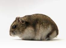 矮小的仓鼠 免版税库存照片