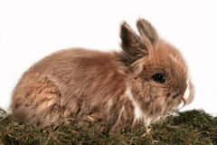 矮小的兔子 库存照片