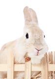 矮小的兔子 免版税库存图片