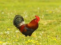 矮小的公鸡日语 库存照片