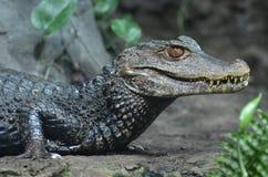 矮小的凯门鳄 免版税图库摄影