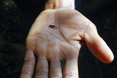 矮小的变色蜥蜴, Brookesia antacanana 图库摄影