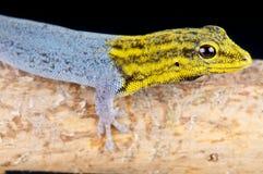 矮小的壁虎朝向黄色 库存照片