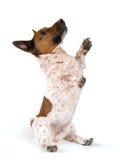 矮小的插孔罗素狗 库存图片