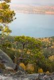 矮小的杉木 图库摄影