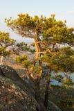 矮小的杉树 库存照片