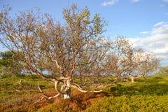 矮小的桦树在拉普兰 库存照片