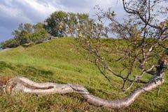 矮小的桦树 库存图片