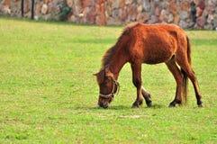 矮小的棕色马 免版税库存图片