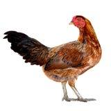 矮小的母鸡(冲切) 免版税库存照片