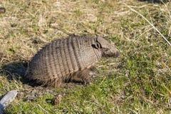 矮小的犰狳在百内国家公园 免版税库存图片