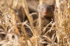 矮小的猫鼬家庭享受他们的洞穴安全  免版税库存图片