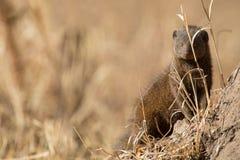 矮小的猫鼬家庭享受他们的洞穴安全  免版税库存照片