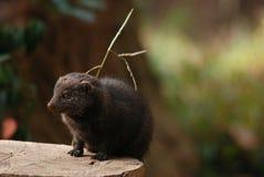 矮小的猫鼬 库存照片