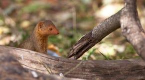 矮小的猫鼬 免版税图库摄影