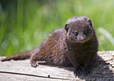 矮小的猫鼬 免版税库存图片